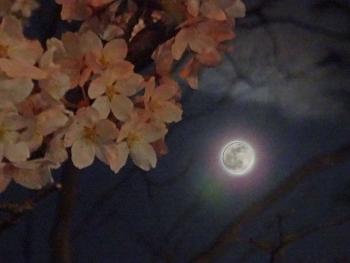 moon20160422sakura02.jpg