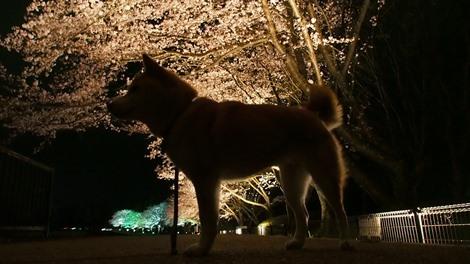 夜桜さくら