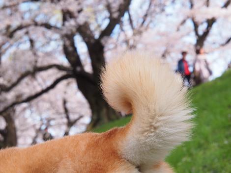 尻尾もお花見