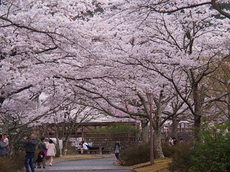 橋が桜で覆われる~