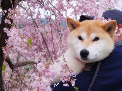 枝垂れ桜とさくら