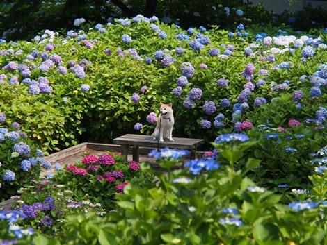 紫陽花に囲まれて♪