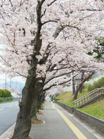 市内の桜並木~