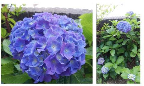 平成28年6月1日紫陽花