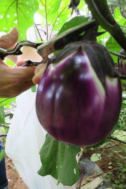 ローザビアンカ茄子収穫