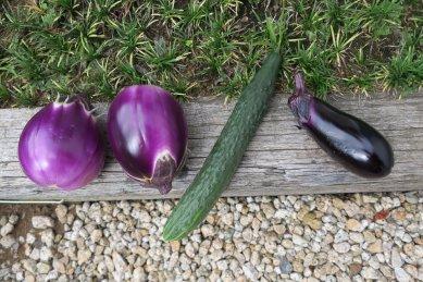 ローザビアンカナス2回目収穫と1回目収穫のキュウリ