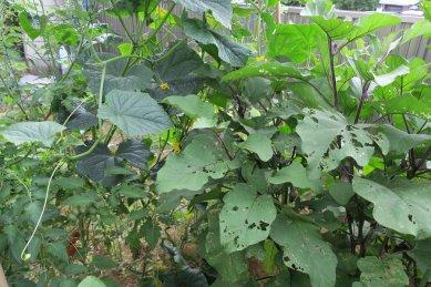 ローザビアンカナスの木(写真右)と隣のキュウリ(写真左)