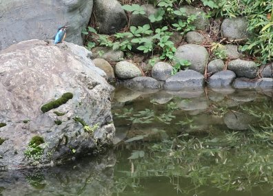 池のカワセミ