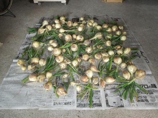 早生タマネギ収穫
