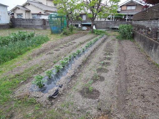 夏野菜植え