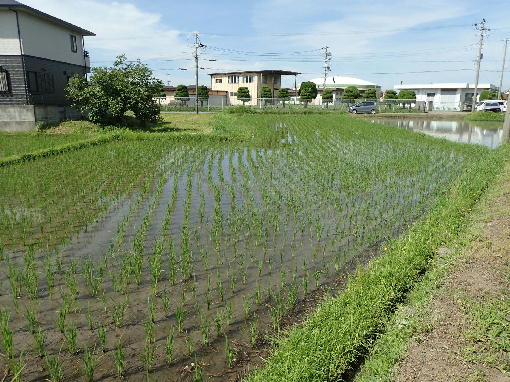 稲の生育状況