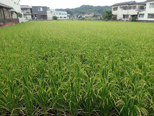 稲の成長1