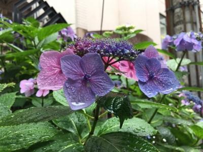 20160616紫陽花01