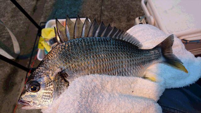 浅いタナで釣れました ・・・