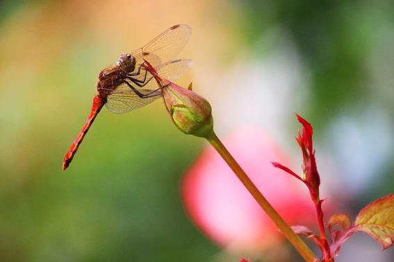 バラの蕾と赤とんぼ
