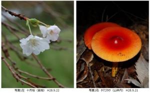 十月桜・タマゴタケ