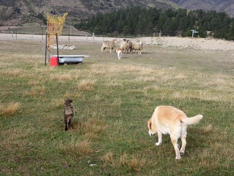 羊の国のラブラドール絵日記シニア!!「ファーム・キャットへの道のり~実践編~」2