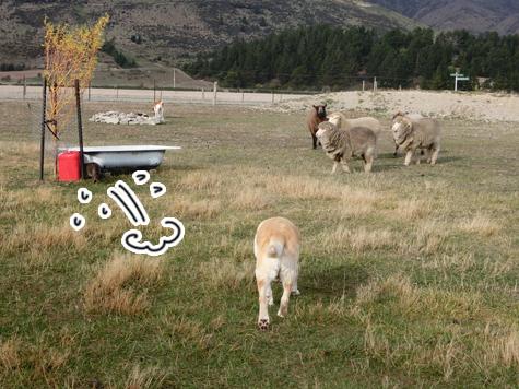 羊の国のラブラドール絵日記シニア!!「ファーム・キャットへの道のり~実践編~」3