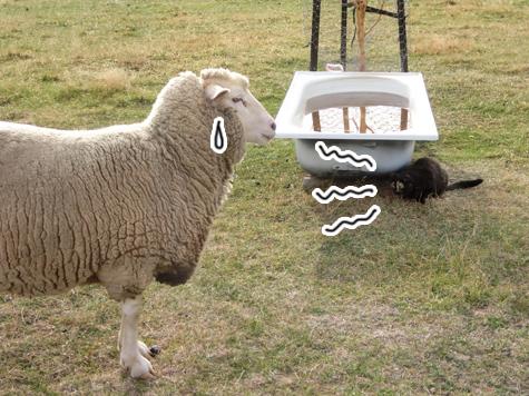 羊の国のラブラドール絵日記シニア!!「ファーム・キャットへの道のり~実践編~」5