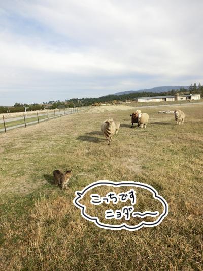 羊の国のラブラドール絵日記シニア!!「ファーム・キャットへの道のり~実践編~」6