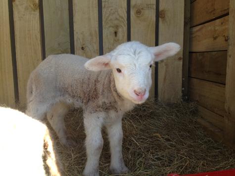 羊の国のラブラドール絵日記シニア!!「ごめんね、こまち」3