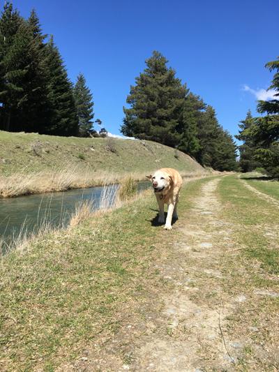羊の国のラブラドール絵日記シニア!!「夏への意気込み」4