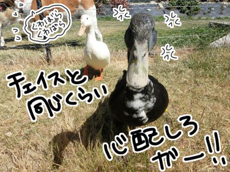羊の国のラブラドール絵日記シニア!!「チェイス脱走!?(後編)」5
