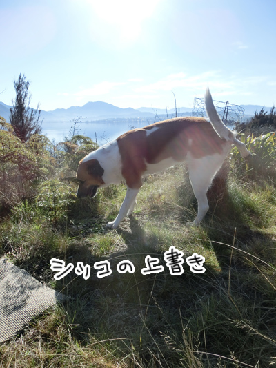 羊の国のラブラドール絵日記シニア!!「男子な散歩」2