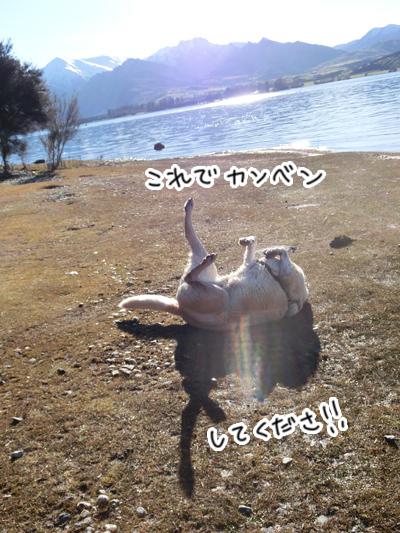 羊の国のラブラドール絵日記シニア!!「シニアの笑顔が見たくて」5