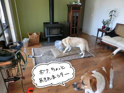 羊の国のラブラドール絵日記シニア!!「意外な利用法Part2]3