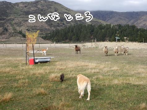 羊の国のラブラドール絵日記シニア!!「噂の真相」1