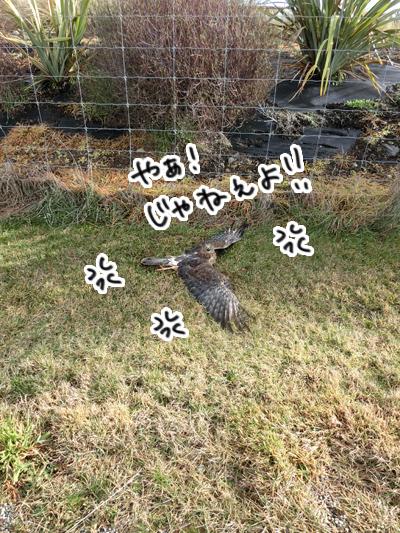 羊の国のラブラドール絵日記シニア!!「ならでは?お散歩アクシデント」2