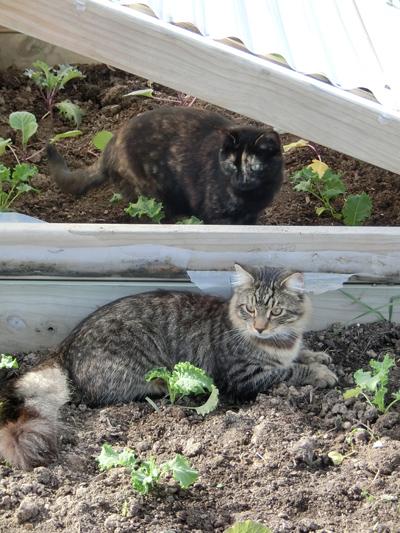 羊の国のラブラドール絵日記シニア!!「猫ガーデニング」1