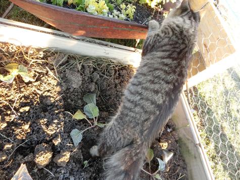 羊の国のラブラドール絵日記シニア!!「猫ガーデニング」5