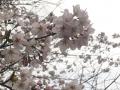 2016お花見2