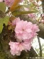 2016春の花8