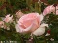 白のピンクのバラ