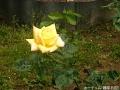 黄色のバラ
