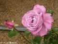 紫色のバラ2