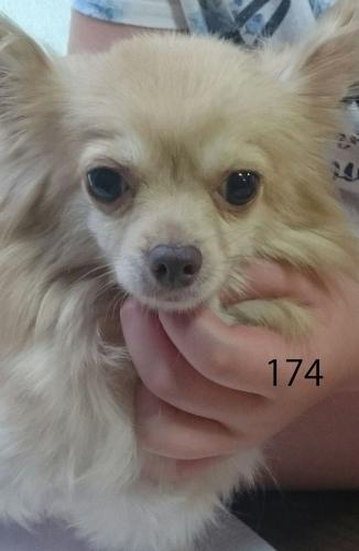 ちわわ5歳 女の子 No.174