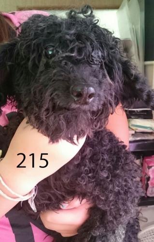 黒トイプードル 4歳 女の子 No.215