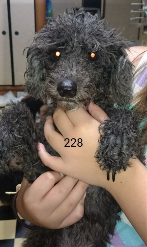 黒トイプードル 5歳 女の子 No.228
