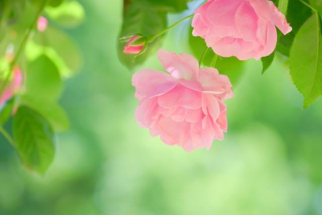 softpink-roses_s.jpg