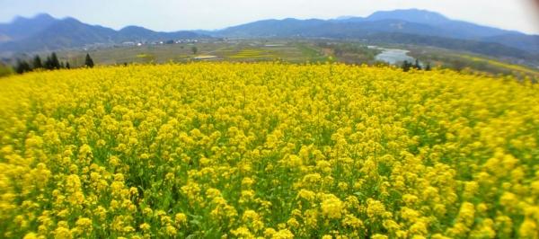 20160420CAAD10飯山菜の花祭会場