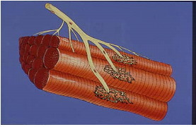 神経筋移行部 モーターポイント