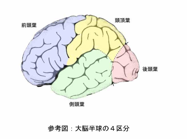 脳の構造 外観