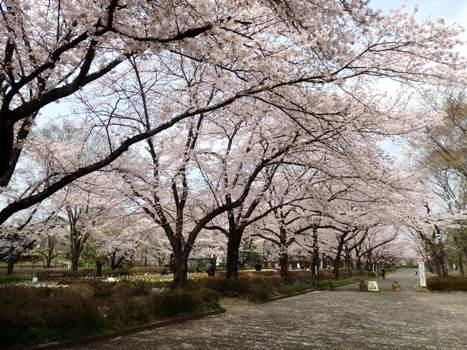 「城山公園のサクラ並木(1)」