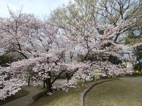 「城山公園のサクラ並木(2)」
