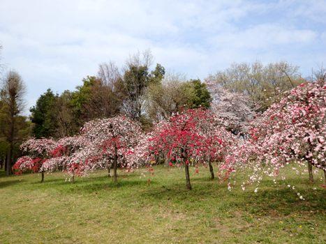 「ハナモモ ~枝垂れの源平咲き(1)」
