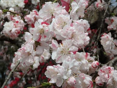 「ハナモモ ~枝垂れの源平咲き(2)」